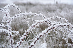 Wild rose branches covered with hoar-frost. Stock Image