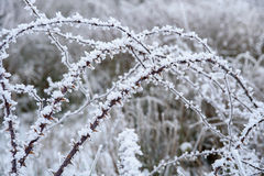 Wild rose branches covered with hoar-frost. Royalty Free Stock Images