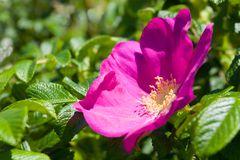 Wild rose - Briar. Wild rose on the sea shore Royalty Free Stock Photos