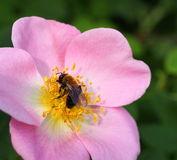 Wild Rose And Bumble Bee Royalty Free Stock Photos