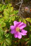 Wild Rose and Bumble Bee. A bumble bee pollenating a wild rose Royalty Free Stock Photos
