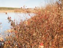 Wild rose bush Royalty Free Stock Photo