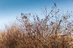 Wild rose bush Stock Photography
