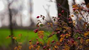 Wild Rose Bush stock video