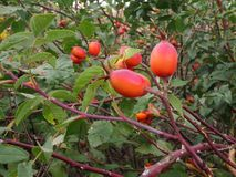 Rose hips on branch with thorns. Royalty Free Stock Photography