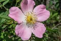 Wild rose bush Royalty Free Stock Image