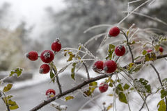 Wild rose bush in hoarfrost. Branch of wild rose covered with frost early winter Royalty Free Stock Photo
