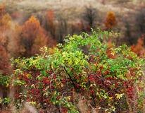 Wild rose Royalty Free Stock Photos