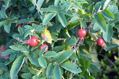 Wild rose bush with ripe red fruits in the dense branches with green leaves Stock Photo