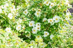Wild rose bush with white flowers on a sunny day, bees collect nectar