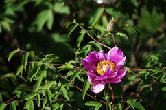 Wild Rose. Close up shot of a wild Japanese rose in the garden stock photography