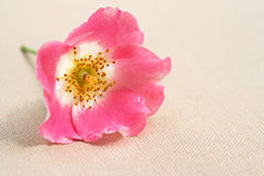 Wild Rose closeup Royalty Free Stock Images