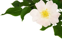 Wild rose in a corner Stock Photo