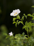 Wild rose with a dark background Royalty Free Stock Photo