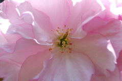 Wild rose Stock Images