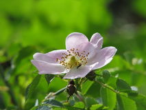 Wild rose Royalty Free Stock Image
