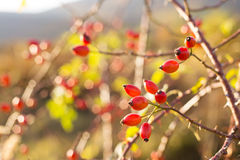Wild rose Stock Image