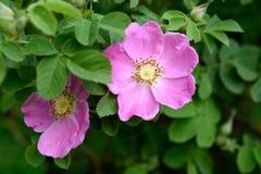 Wild rose flower stock images