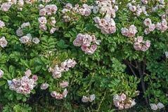 Wild rose flower. Royalty Free Stock Image