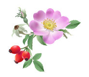Wild rose flower and fruits. Royalty Free Stock Photo