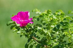 Wild rose flower Stock Image