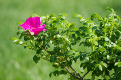 Wild rose. Flower on the green background Royalty Free Stock Photo