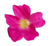 Wild rose flower Royalty Free Stock Image