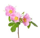 Wild rose flower Royalty Free Stock Photos