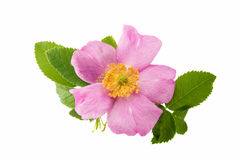 wild rose flower isolated stock photo
