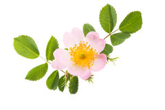 Wild rose flower isolated. On white background royalty free stock photography