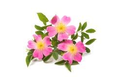 Wild rose flower isolated. On white background stock photos