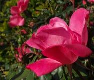 Wild rose flower of North Carolina. Wild rose flower of North Carolina around noon at Lake Lure stock photo