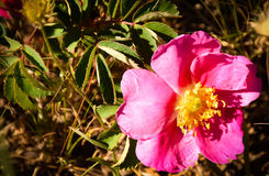 Wild Rose Flower (Rosa woodsii) Medicine Bow National Forest Wyoming stock photos