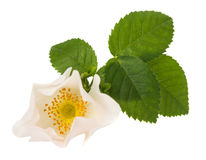Wild rose flower Royalty Free Stock Image