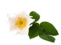 Wild rose flower Stock Photography