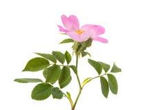 Wild rose flower Stock Photo