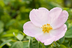 Wild rose flowering Royalty Free Stock Photography