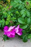 Wild Rose Royalty Free Stock Photography