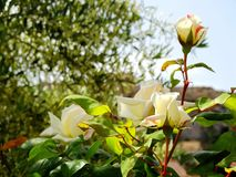 Wild rose flowers bloom during summer time. royalty free stock photo