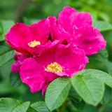 Wild rose flowers. Bright rose-pink Wild rose flowers on green background stock images