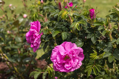 Wild rose flowers and buds Stock Image