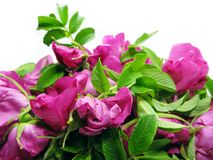 Wild Rose Flowers Floral Background Royalty Free Stock Image