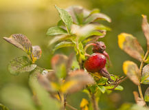 Wild rose: flowers and fruits Stock Image