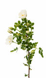 Wild rose flowers isolated Stock Images