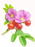 Wild rose flowers and red hip berries for tea Royalty Free Stock Photos