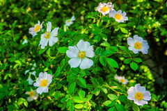 Wild rose3 Royalty Free Stock Photography
