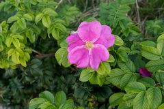 Wild rose flowers on a sunny summer day stock photography