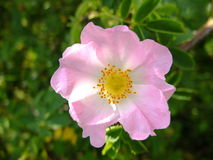 Wild rose. Royalty Free Stock Image