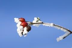 Wild rose fruit Stock Images