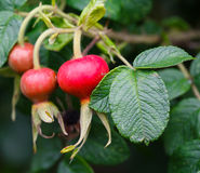Wild rose fruit with leaves. Red wild rose fruit with leaves, macro stock photos